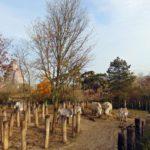Зебра «Греви» в венсенском зоопарка в Париже