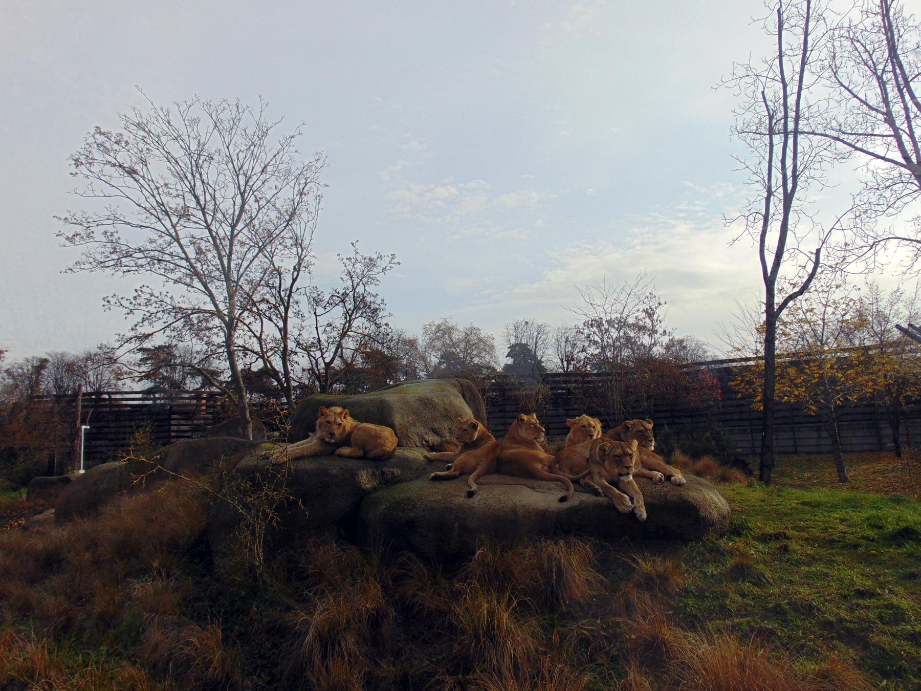 львы в коллекции венсенского зоопарка в Париже