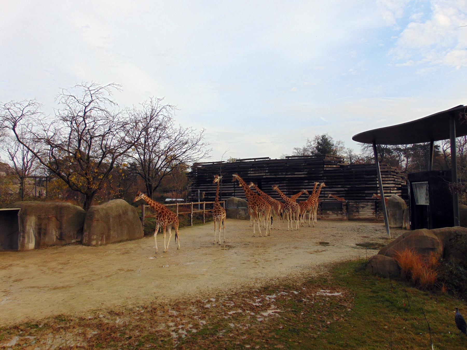 жирафы в парижском зоопарке
