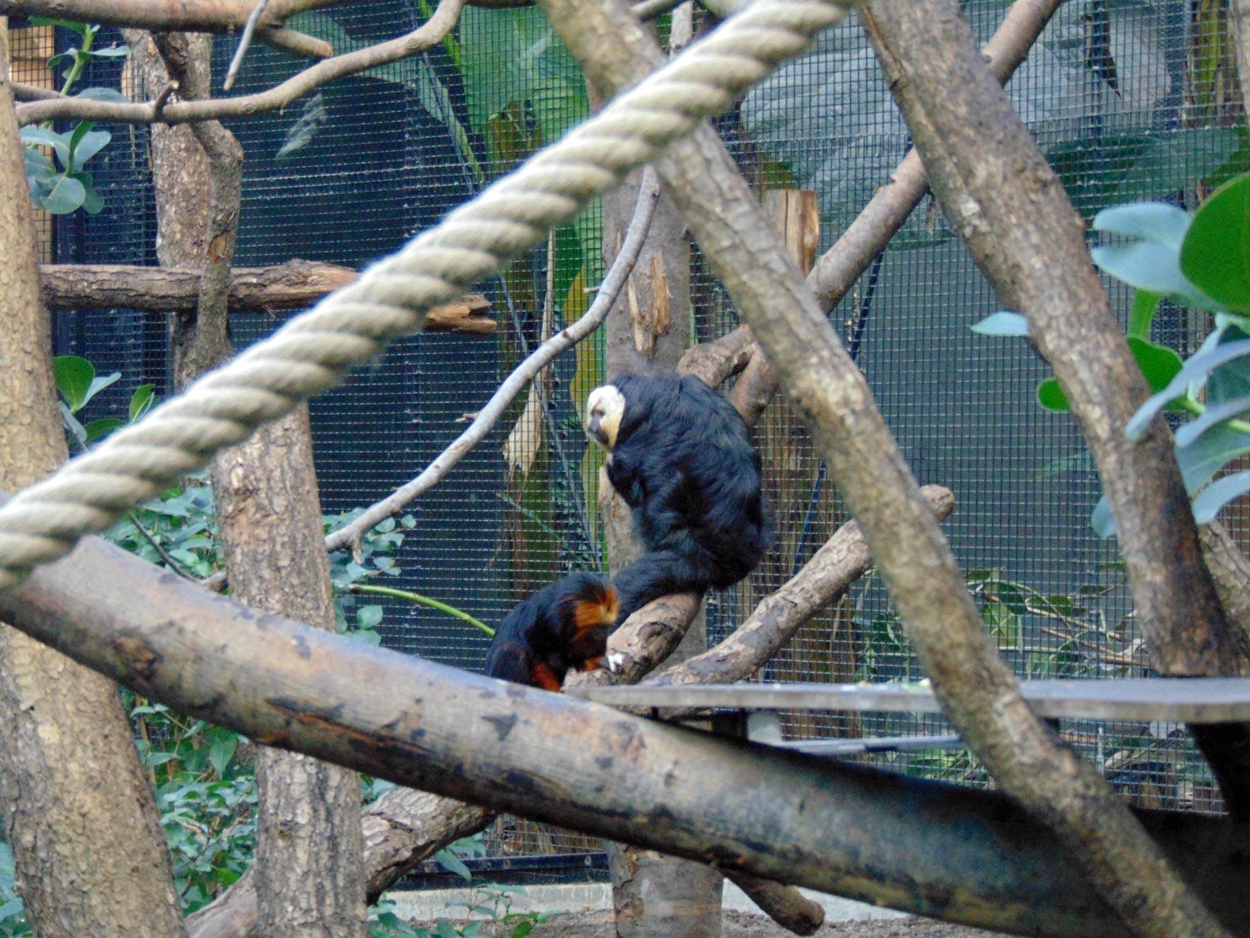 обезьяны Венсенского зоопарка в Париже
