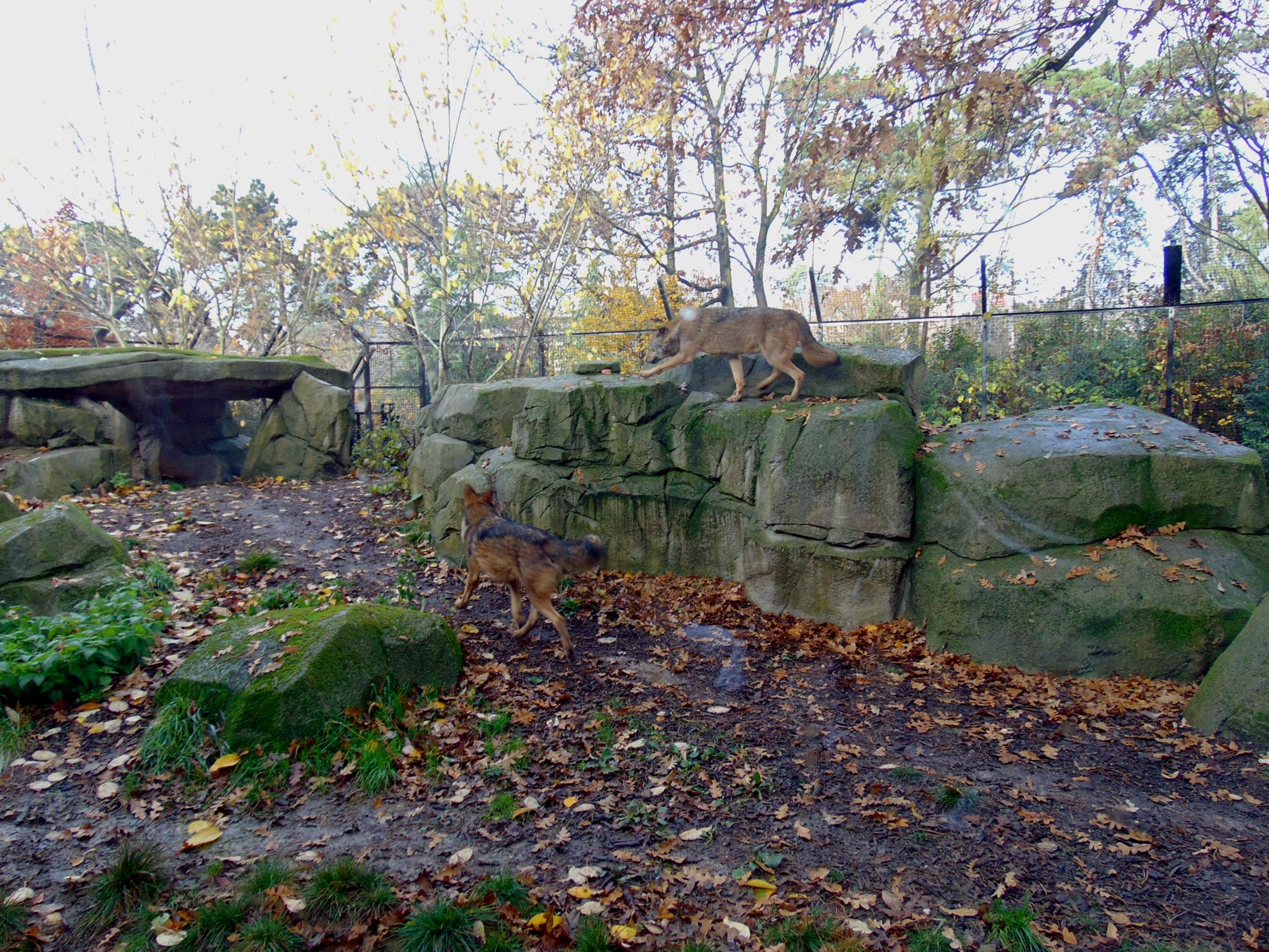 волки в венсенском зоопарке Парижа