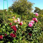 цветы в Саду Клода Моне